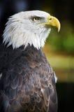 Amerikanisches kahler Adler-Profil gegen Schwarzes Stockbild