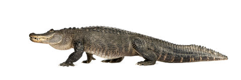 Amerikanisches Krokodil (30 Jahre) - Krokodilmississi Stockbilder