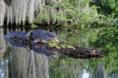 Amerikanisches Krokodil Stockfotografie