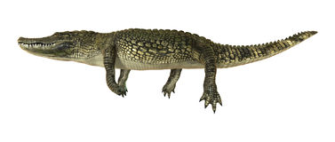 Amerikanisches Krokodil Lizenzfreie Stockfotos
