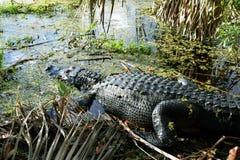 Amerikanisches Krokodil Lizenzfreies Stockbild