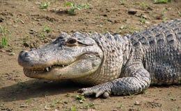Amerikanisches Krokodil auf Land Lizenzfreie Stockbilder