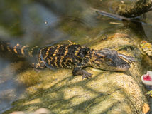 Amerikanisches Krokodil des Schätzchens Stockfotografie