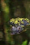 Amerikanisches Krokodil - Krokodil Mississippiensis Stockbild