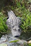 Amerikanisches Krokodil, Krokodilmississippiensis Lizenzfreies Stockfoto