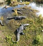 Amerikanisches Krokodil (Krokodilmississippiensis) Lizenzfreie Stockfotos