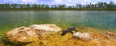Amerikanisches Krokodil (Krokodilmississippiensis) Lizenzfreies Stockfoto