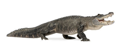 Amerikanisches Krokodil - Krokodilmississippiensis Lizenzfreie Stockfotos
