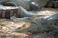 Amerikanisches Krokodil liegt auf der Bank Stockfotos