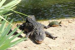 Amerikanisches Krokodil mit einer Dosenschildkröte Lizenzfreie Stockfotografie