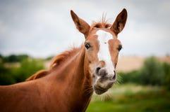 Amerikanisches Lack-Pferd Stockfotos