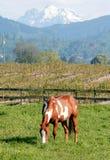 Amerikanisches Lack-Pferd Lizenzfreies Stockfoto