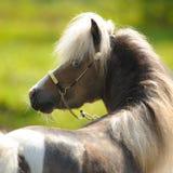 Amerikanisches Miniaturpferd, Porträt im Sommer Stockbild