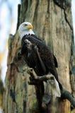 Amerikanisches Portrait des kahlen Adlers Lizenzfreie Stockbilder