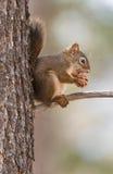 Amerikanisches rotes Eichhörnchen Stockfotografie