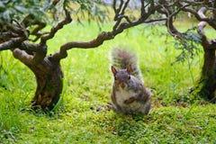 Amerikanisches rotes Eichhörnchen lizenzfreies stockfoto