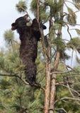 Amerikanisches schwarzes Bärenjunges Lizenzfreie Stockfotografie