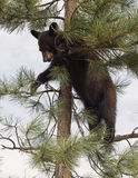 Amerikanisches schwarzes Bärenjunges Lizenzfreie Stockfotos
