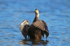 Amerikanisches schwarzes Duck Duck Flapping Lizenzfreies Stockfoto