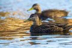 Amerikanisches schwarzes Duck Pair lizenzfreies stockbild