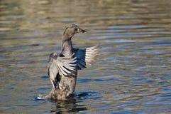 Amerikanisches schwarzes Duck Stretching Its Wings auf dem Wasser Stockfotos