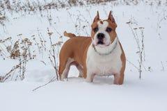 Amerikanisches Staffordshire-Terrier steht im weißen Schnee Heimtiere Stockfoto