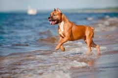 Amerikanisches Staffordshire-Terrierhund, der auf dem Strand spielt Lizenzfreies Stockbild