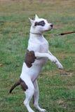 Amerikanisches Staffordshire-Terrierwelpe steht auf Hintertatzen Heimtiere Lizenzfreie Stockbilder