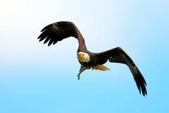 Amerikanischer Weißkopfseeadler im Flug mit Fischen Lizenzfreie Stockfotografie