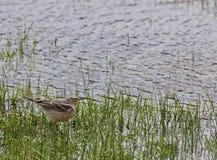 AmerikanPipit i våtmark Royaltyfri Foto