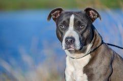 AmerikanPitbull Terrier hund, Walton County Animal Shelter Royaltyfria Bilder