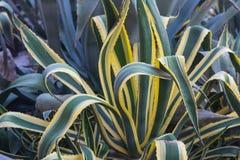 Amerikansk århundradeväxt & x28; Agave& x29; Fotografering för Bildbyråer