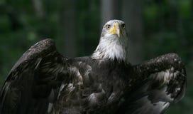 amerikansk örn arkivbild