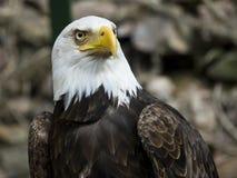 amerikansk örn royaltyfria bilder