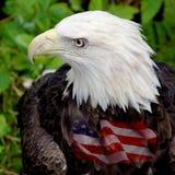 amerikansk örn Arkivfoto
