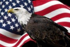amerikansk örn Arkivfoton