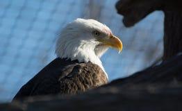 amerikansk örn Arkivbilder
