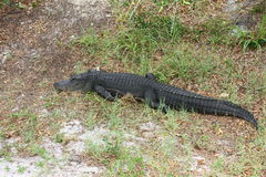 Amerikansk alligator Arkivbilder