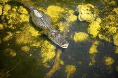Amerikansk alligator Fotografering för Bildbyråer