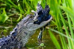 Amerikansk alligator Arkivfoton