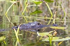 Amerikansk alligator Arkivfoto