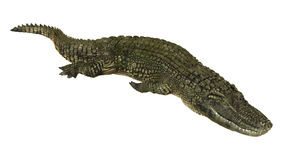 Amerikansk alligator Royaltyfria Foton