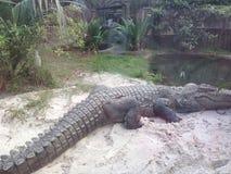 Amerikansk alligator Royaltyfri Bild