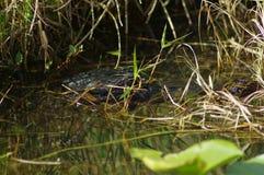 Amerikansk alligator - alligator Mississippiensis Royaltyfria Foton