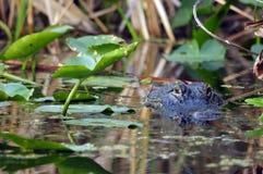 Amerikansk alligator - alligator Mississippiensis Arkivbilder