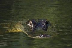 Amerikansk alligator (alligatormississippiensis) i EvergladesNa Royaltyfria Bilder