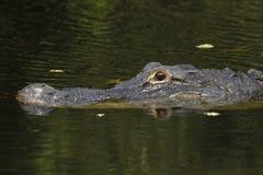 Amerikansk alligator (alligatormississippiensis) i EvergladesNa Royaltyfri Fotografi