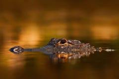 Amerikansk alligator, alligatormississippiensis, NP-Everglades, Florida, USA Krokodil i bevattna Vatten su för krokodilhuvud över Royaltyfri Fotografi