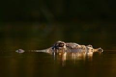 Amerikansk alligator, alligatormississippiensis, NP-Everglades, Florida, USA Lugnt vattenyttersida med krokodilen Mörkt vatten me arkivfoto