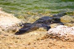 Amerikansk alligator (alligatorn Mississippiensis) Arkivfoto